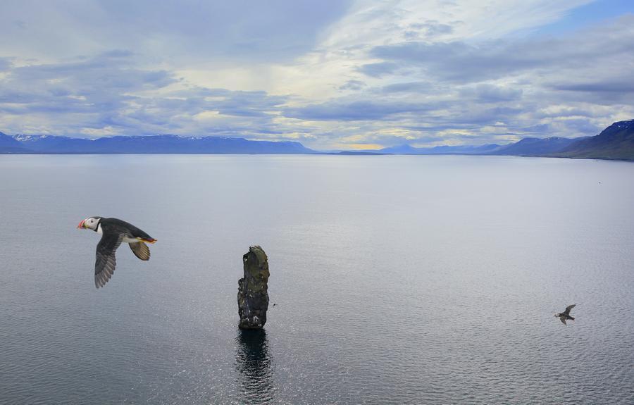 Puffins,colony,puffin,Drangey Island,Skagafj, photo