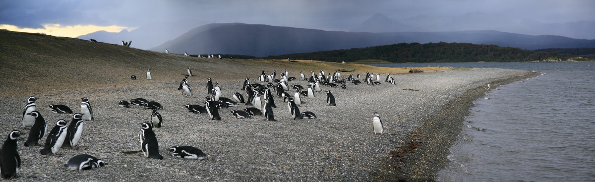 Magellanic Penguins, Magellanic penguin colony, Beagle Channel, Isla Martillo, Tierra Del Fuego, panorama, photo