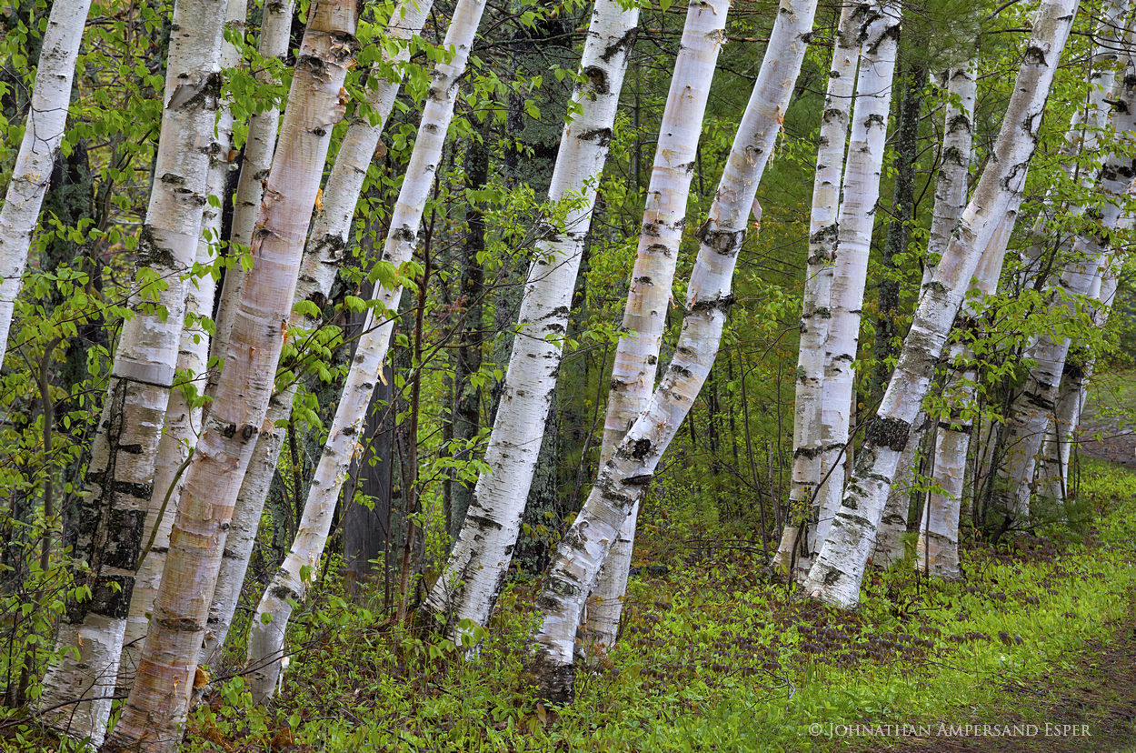 white birch,white birches,birch,birches,Lake Durant,wet spring,rainy spring,spring,2017,green,rain,Adirondack Park,Adirondacks,forest,Adirondack forest,trees,Johnathan Esper, photo