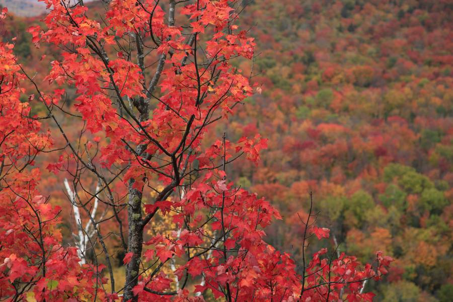 Adirondack,maple,full,color,red,colorful,foliage,season,fall,autumn,leaves,Adirondack Park,forest,mixed,background,soft,, photo