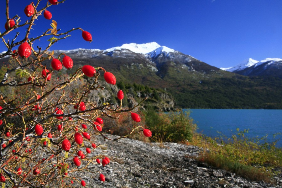 Lago Futalaufquen, Los Alerces National Park, Argentina, red, berries, bush, photo