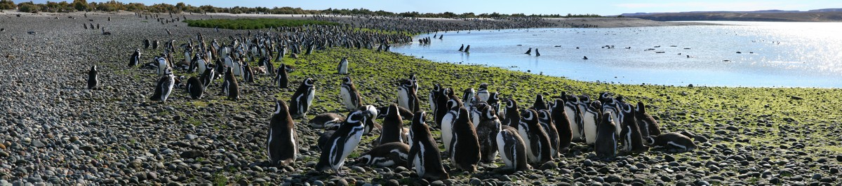 Magellanic penguins, penguins, Magellanic penguin, colony, Rio Deseado Estuary, Atlantic coast, Patagonia, wildlife, photo