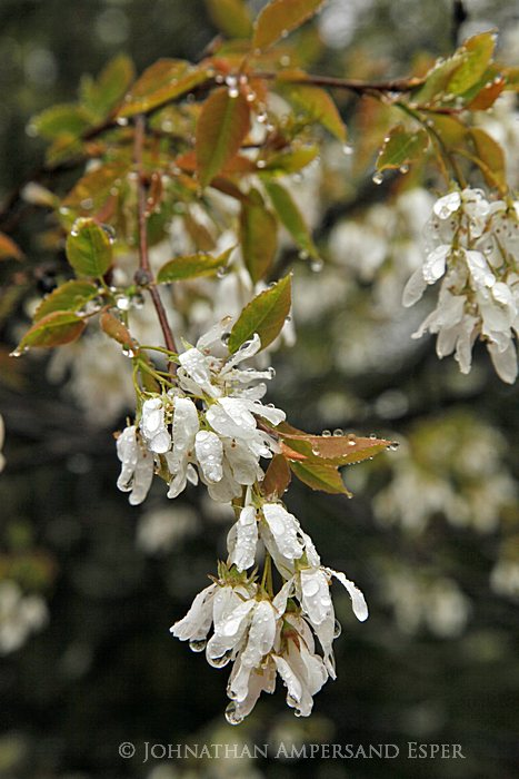 rainy April,2012,rainy,tree blossoms,wet petals,water droplet,dripping,Newcomb,white flowers,, photo