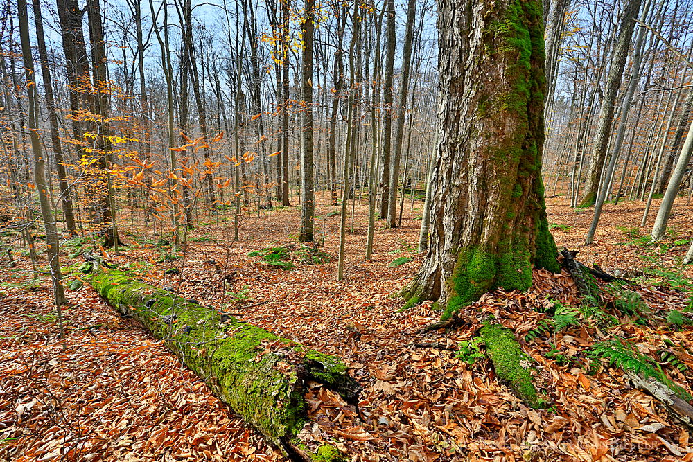 Nobleboro,forest,mossy,moss,maple,old,old-growth,mossy log,mossy maple,Jones Rd,Jones Road,state forest,Adirondack fores, photo