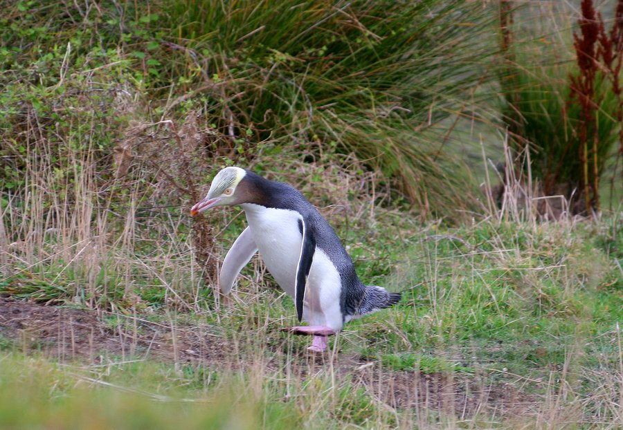 Yellow Eyed Penguin, Otago Peninsula, New Zealand, penguins, wildlife, photo