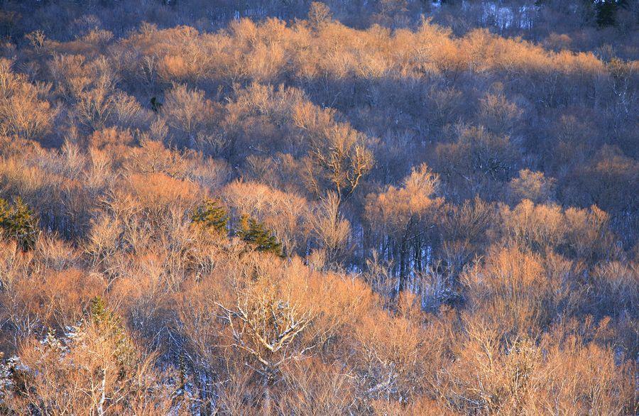 forest, sunset, beech, maple, winter, owls head, photo