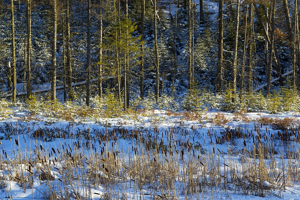 Pines,pine forest,winter light,shadow and highlight,Moody Falls,Adirondack,forest, photo