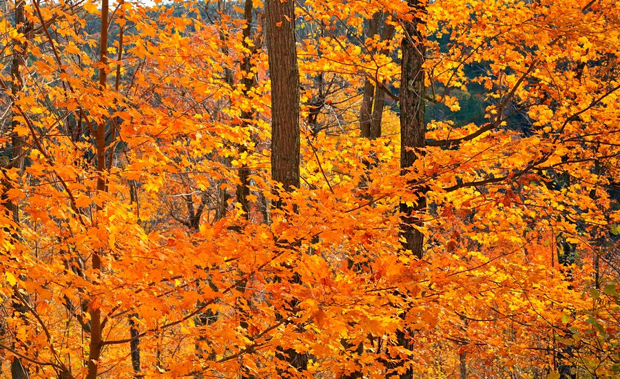 Pokomoonshine,yellow,maple,forest,leaves,autumn,maples,orange, photo
