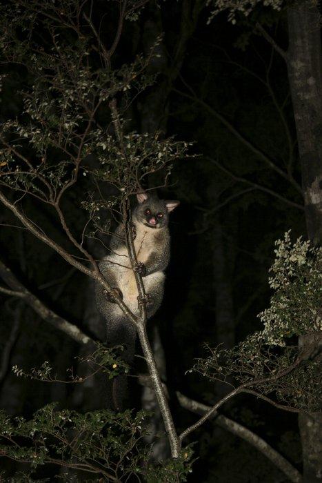 Trichosurus vulpecula,Common Bushtailed Possum,marsupial,nocturnal,Australia,New Zealand,invasive species,introduced,spe, photo