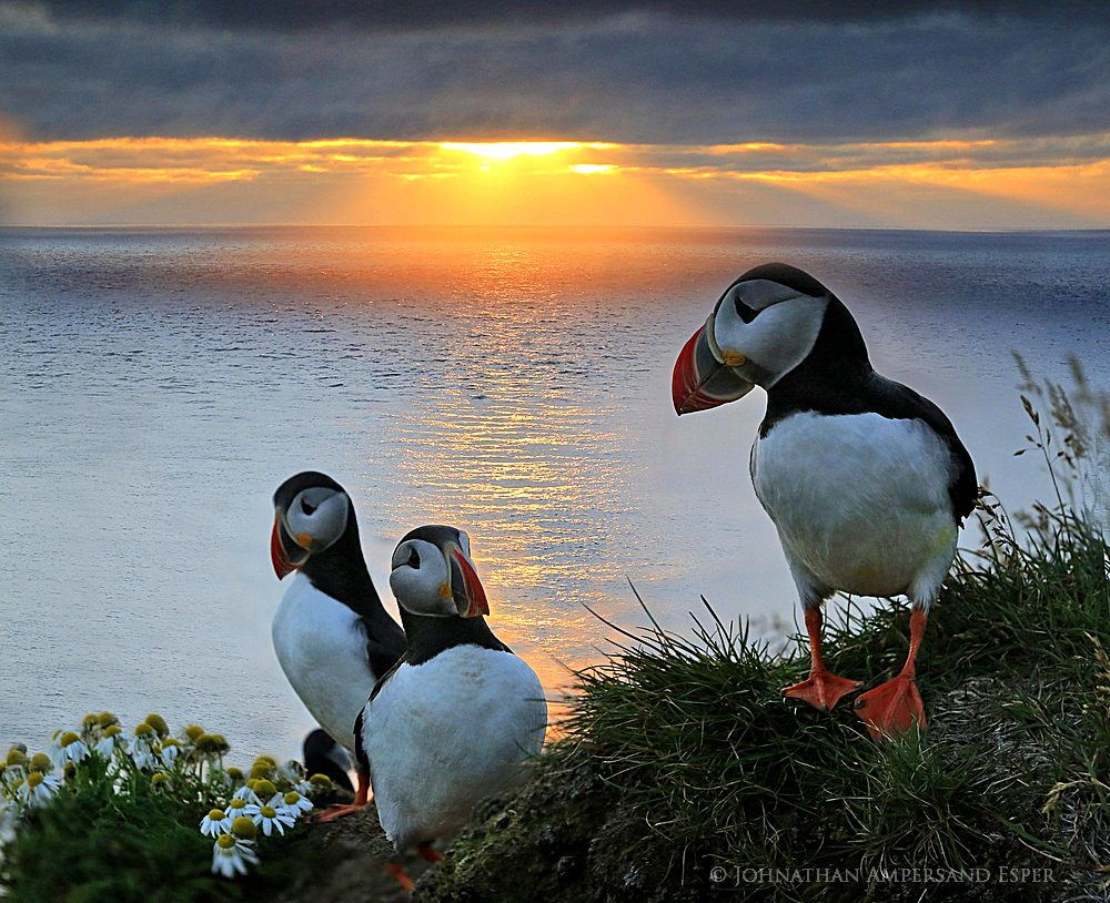 Latrabjarg cliffs,Latrabjarg puffins,puffins,puffin,Iceland,Iceland puffin,sunset,, photo