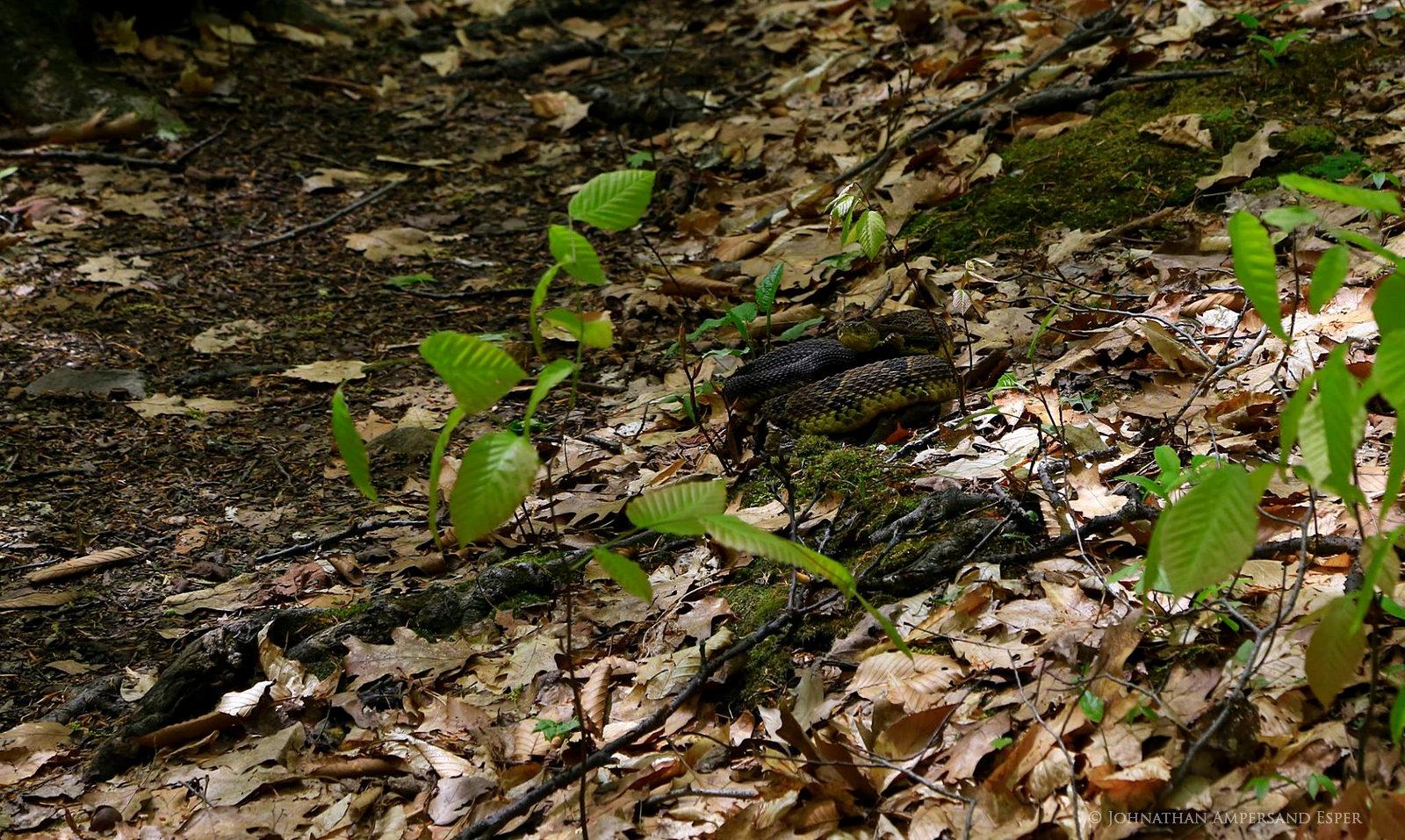 Rattlesnake,Tongue Mountain Range,Tongue Range,timber rattlesnake,coiled,camouflaged,trail,hiking,Tongue Mt,Tongue Mt rattlesnake,, photo