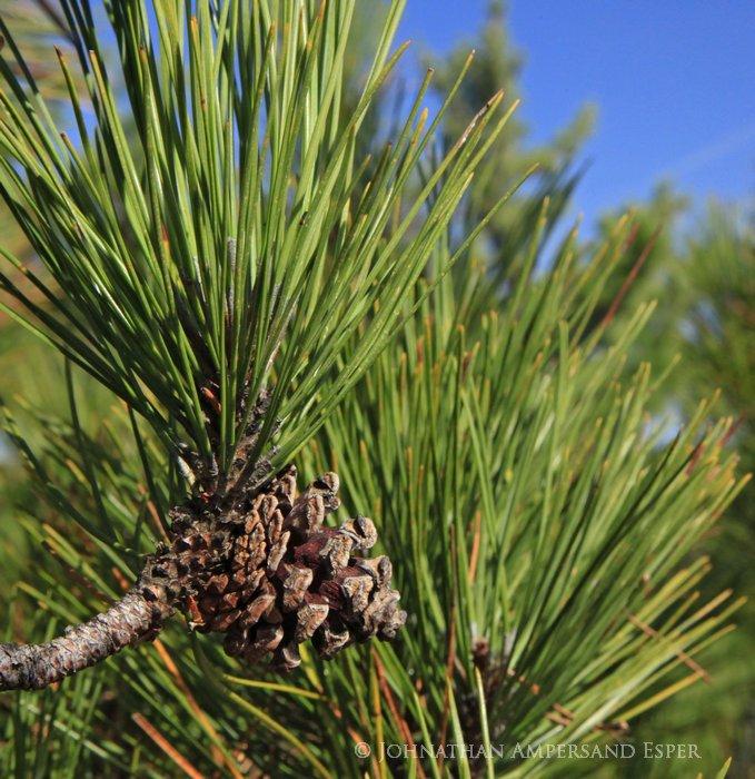 red pine,pine,cone, pinecone,macro,treetop,needles,, photo