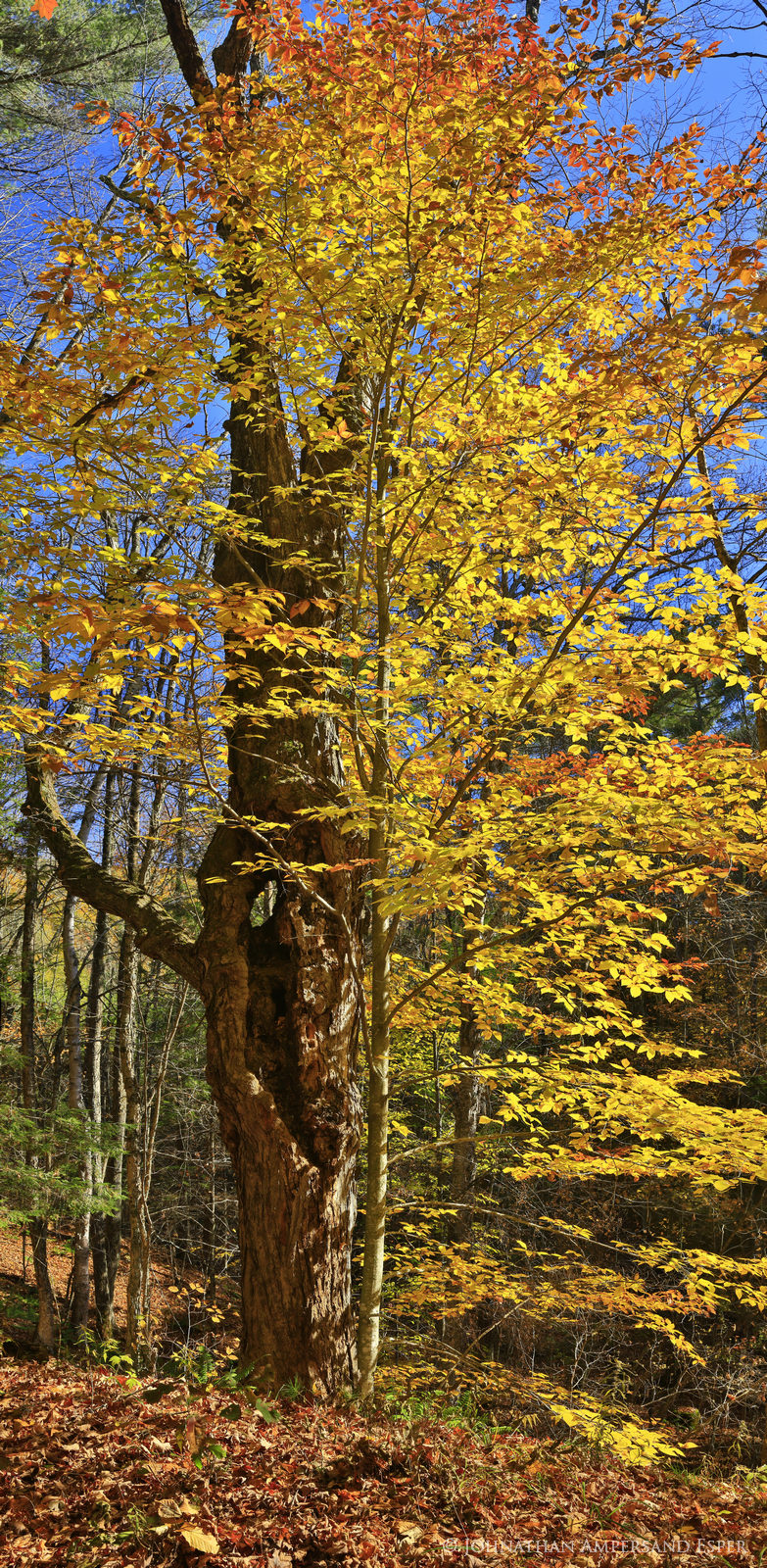 Schroon River,Schroon River property,beech,beech leaves,autumn,2015,Adirondack photography,Adirondack,beech tree,Adirondack Park,fall,foliage,yellow leaves,yellow,vertical panorama,maple,old maple tre, photo