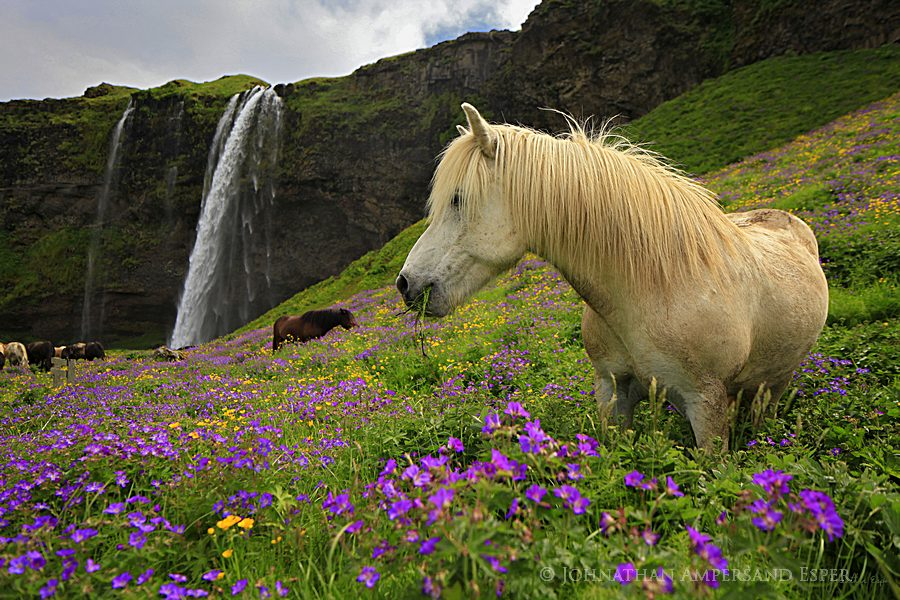Seljalandsfoss, Icelandic, horse,wildflowers,white,Iceland,waterfall, photo