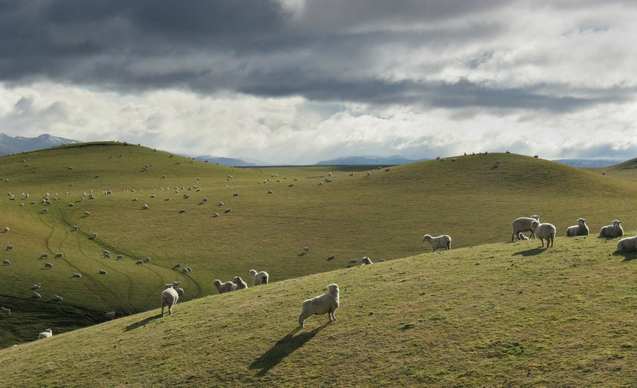 sheep,farming,grazing,pasture,wool,New Zealand,backlit,sun,rays,shine,sunshine,North Island,flock, photo