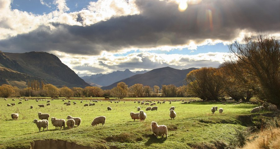 Kingston,sheep,farming,grazing,pasture,wool,New Zealand,backlit,sun,rays,shine,sunshine, photo