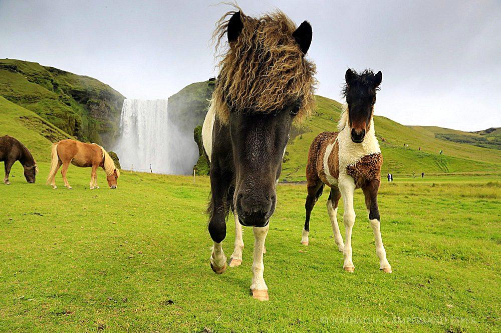 Skogafoss, Iceland, Icelandic horses,horses,Skogafoss Iceland,Skogafoss Icelandic horses, photo