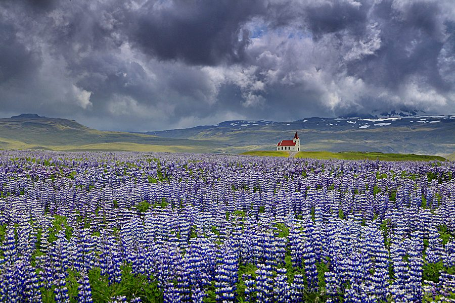 Snaefellsness Peninsula,Rif,Iceland,Icelandic,country,church,storm,clouds,field,lupine,lupines,wildflowers,fields,lupine wildflowers,, photo