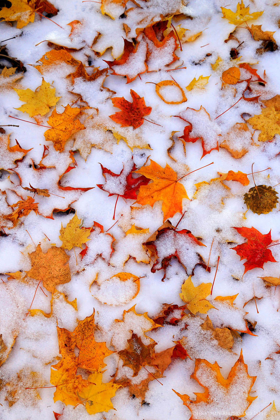 Snow Mt,snow,dusting,snow dusting,maple leaves,maple,autumn snow,autumn snowfall,detail,orange,maple,October,Keene Valley, photo
