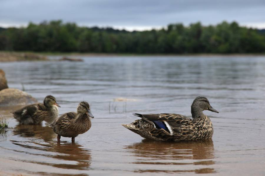 mallard duck,ducks,chicks,Stillwater Reservoir,wildlife,birds,Adirondack Park,water, photo