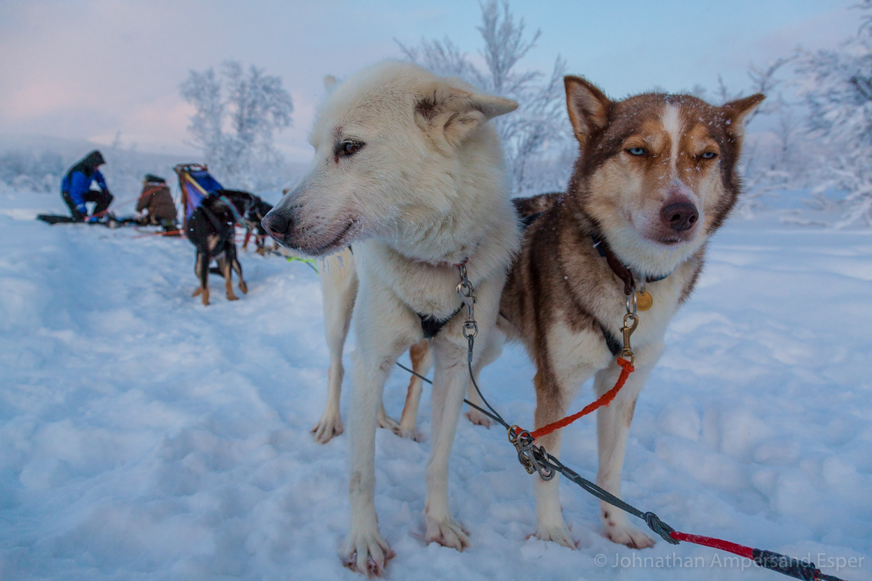 Sled dogs take a break near Kiruna, Sweden. Captured during on a 10 day dogsledding trip in -30 to -20 degree C temperatures.
