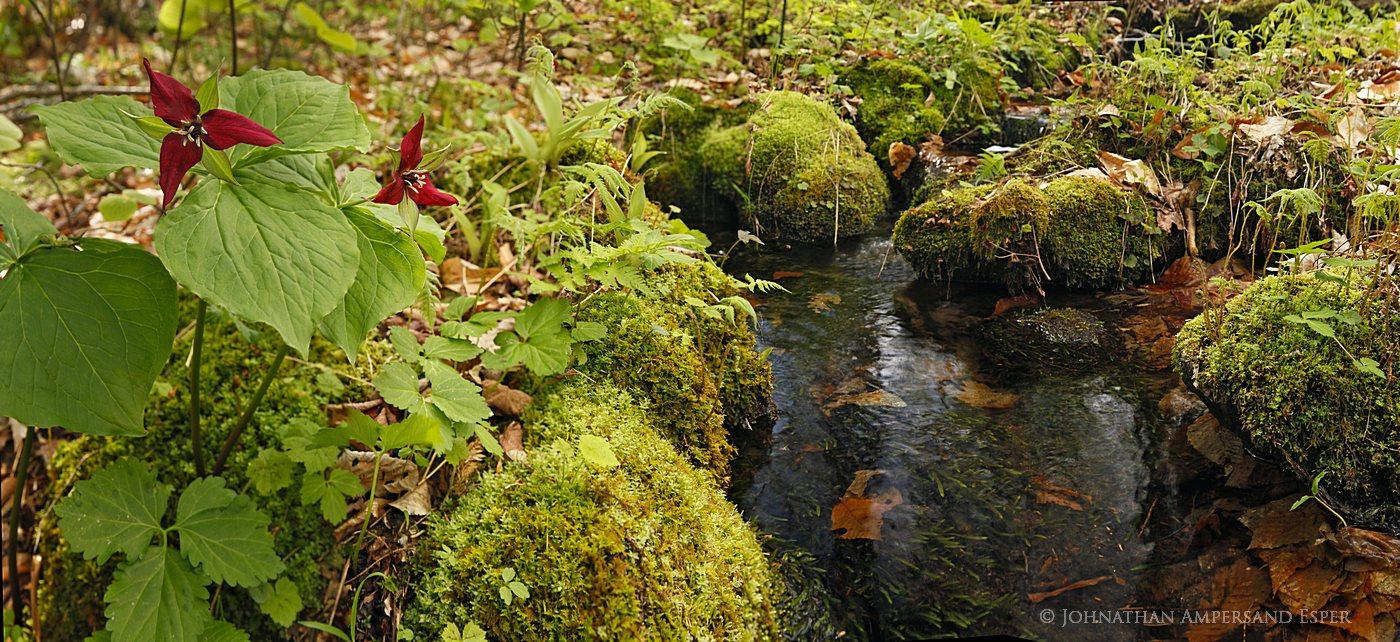 red,trillium,trilliums,Black Mountain,Black Mt,stream,brook,Adirondack Park,2012,Adirondack Life,Adirondack,wildflower, photo