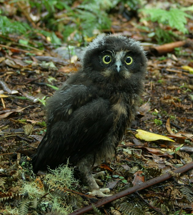 Whirinaki Forest,park,New Zealand,baby,owl, photo
