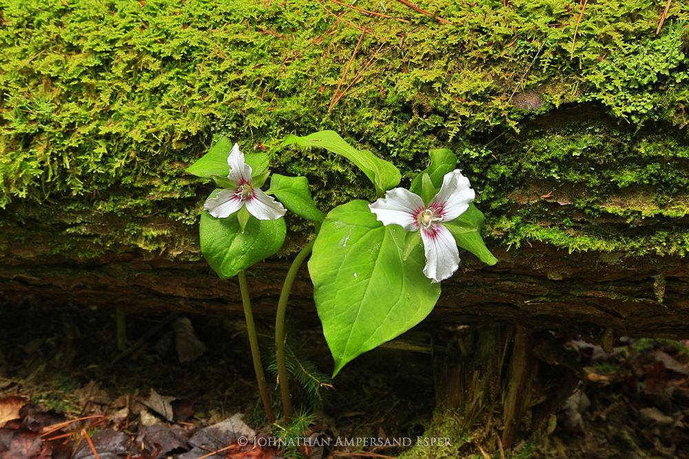 white trillium,white trilliums,trillium,trilliums,Auger Falls,mossy log,log,mossy,Sacandaga River region,Wells,forest,Adirondack,Adirondack forest,wildflower,, photo