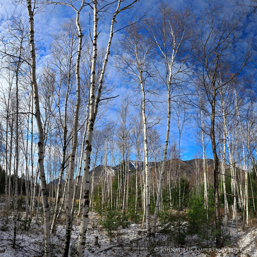 Whiteface Mt,Whiteface Mt ski area,Whiteface,white birch,forest,trees,Whiteface Mt white birch forest,Wilmington,November,2017