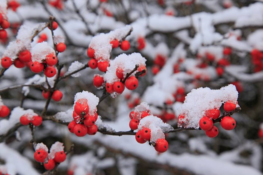 Winterberry Holly,Ilex Verticellata,Adirondack Park,vegetation,plants,Adirondack,berries,red,snow-covered,snowy,white,sn, photo