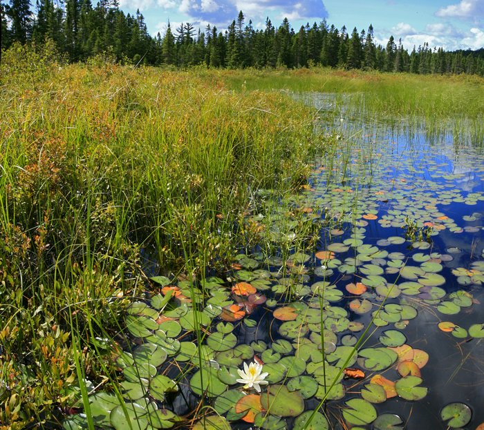 Big Brook,Grampus Lake,outlet,white,lily,pad, photo