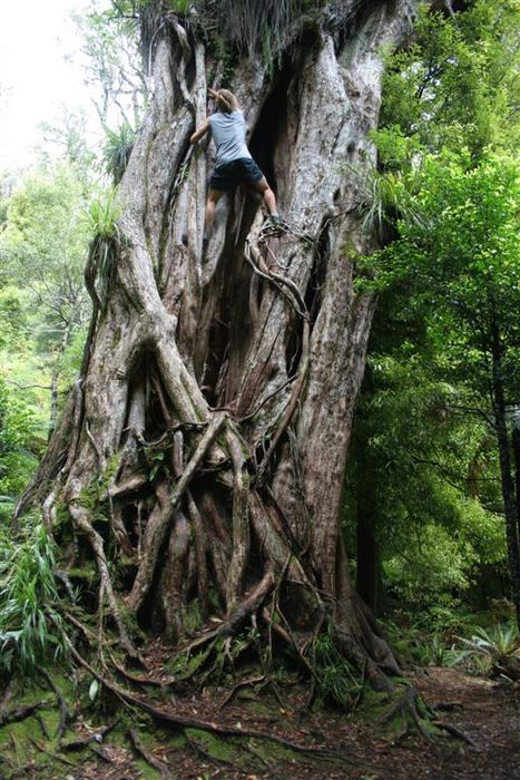 tree climbing, old, ancient, Rata tree, New Zealand, photo