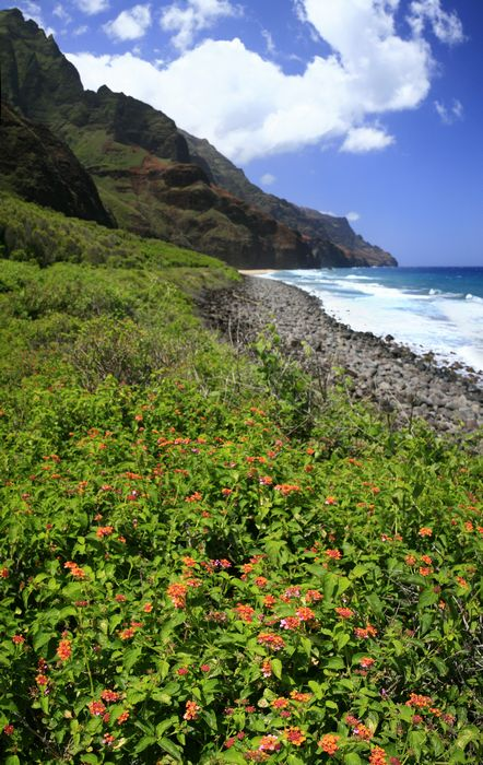 wildflowers, flowers, Kalalau Beach, Kalalau Trail, Na Pali, coast, coastline, cliffs, photo
